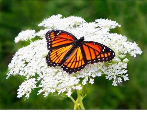 monarch on queen anne lace